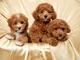 Queridos cachorros caniche disponibles masculino y femenino