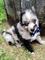 Ojos azules cachorros pomsky disponibles