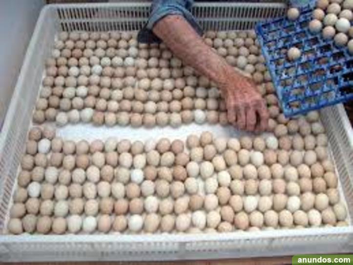 Huevos de loro azul y oro guacamayo
