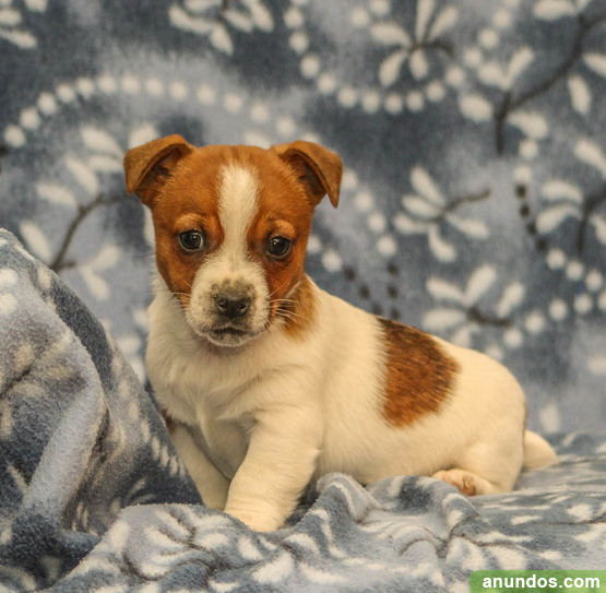 Amistoso Jack Russell cachorros disponibles