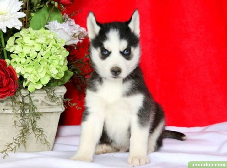 Ojos azules cachorros de husky siberiano disponibles