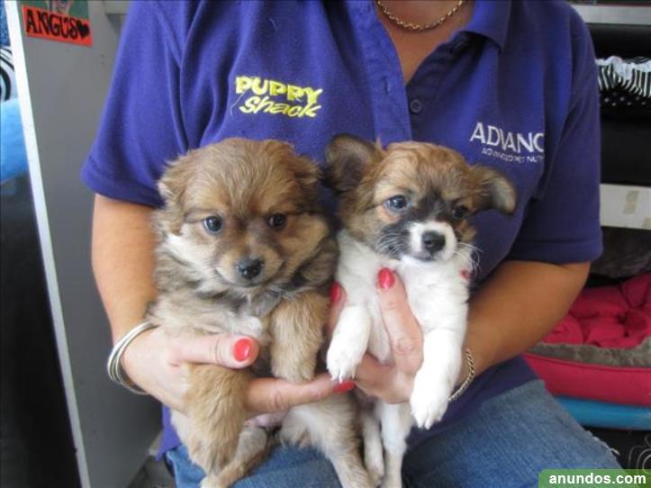 Hermosos cachorros chihuahua registrados disponibles