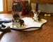 .. .cachorros de corgi suaves y hermosos disponibles