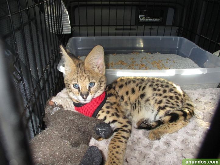 Purebred Rosetted Savannah Kittens