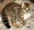 Adorables gatitos de sabana