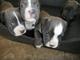 Cachorros de american staffordshire terrier en venta