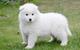 Samoyed puppies en venta