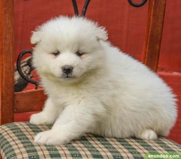 Cachorros de samoyedo macho y hembra disponibles