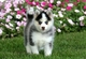 Cachorros pomsky muy saludables para adopción