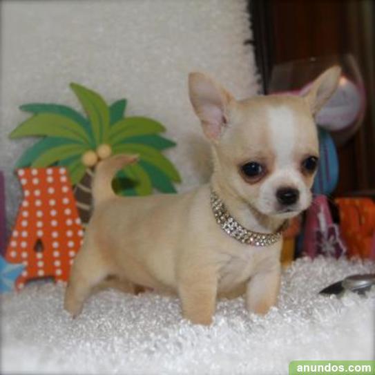 Cachorros Chihuahua en venta