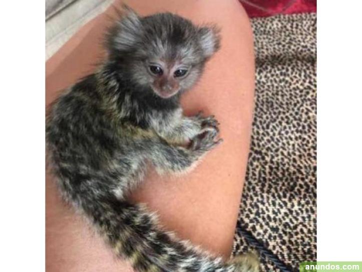 Monos tití increíble en venta