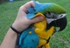 Par de loros guacamayos azul y dorado