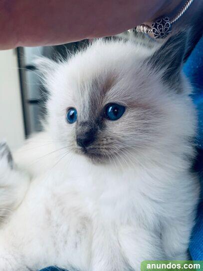 4 gatitos muy especiales de Ragdoll