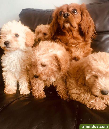 Cachorros de Cavapoo