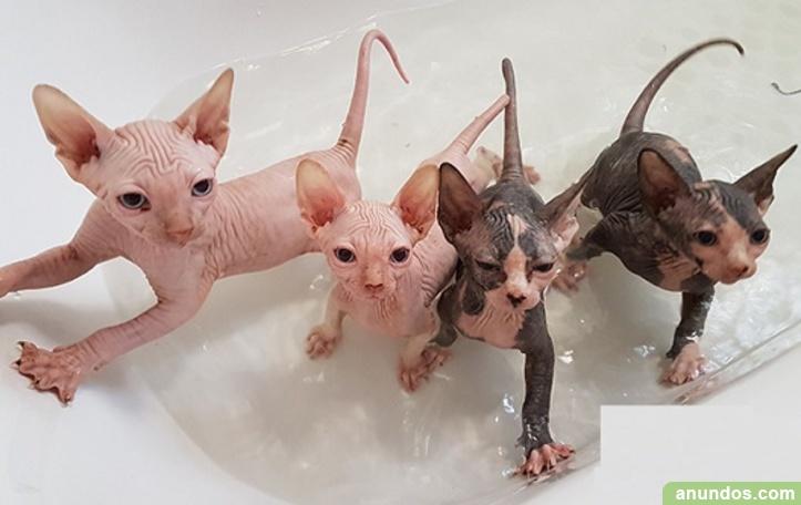Gatitos sphynx para adopcion libre10
