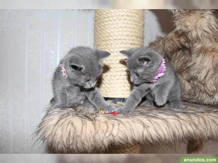 Hermosos gatitos rusos azules gratis adopcion
