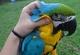 Impresionante par de loros guacamayo azul y oro