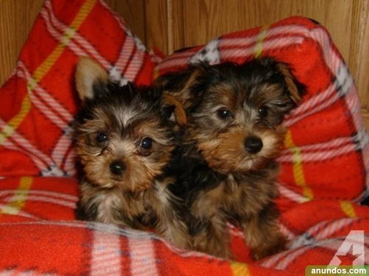 Cachorros de yorkshire terrier gratis