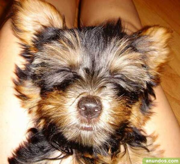 Gran oferta cachorros de yorkshire terrier, para adopcion