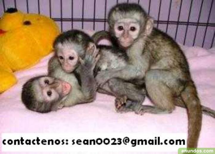 Monos asequibles y bebés chimpancés que son excelentes mascotas e