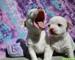 Adorable cachorro chihuahua