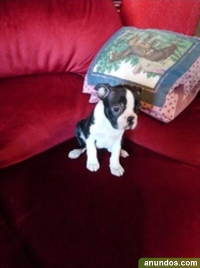 Cachorros Boston Terrier Registrados