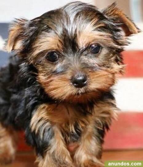 Adorables cachorros de Yorkshire Terrier///