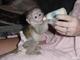 Monos tití criados en casa, monos capuchinos, monos ardilla, mono
