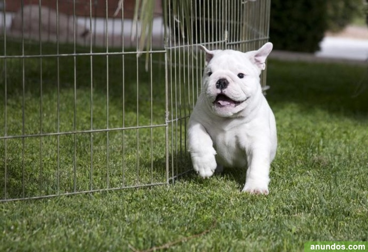 Cachorros Bulldog Inglés registrados Akc