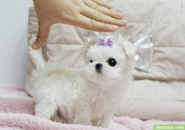 Mini toy bichon maltes parra adopcion libre
