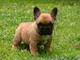 Cachorros de camada bulldog francés exoticos